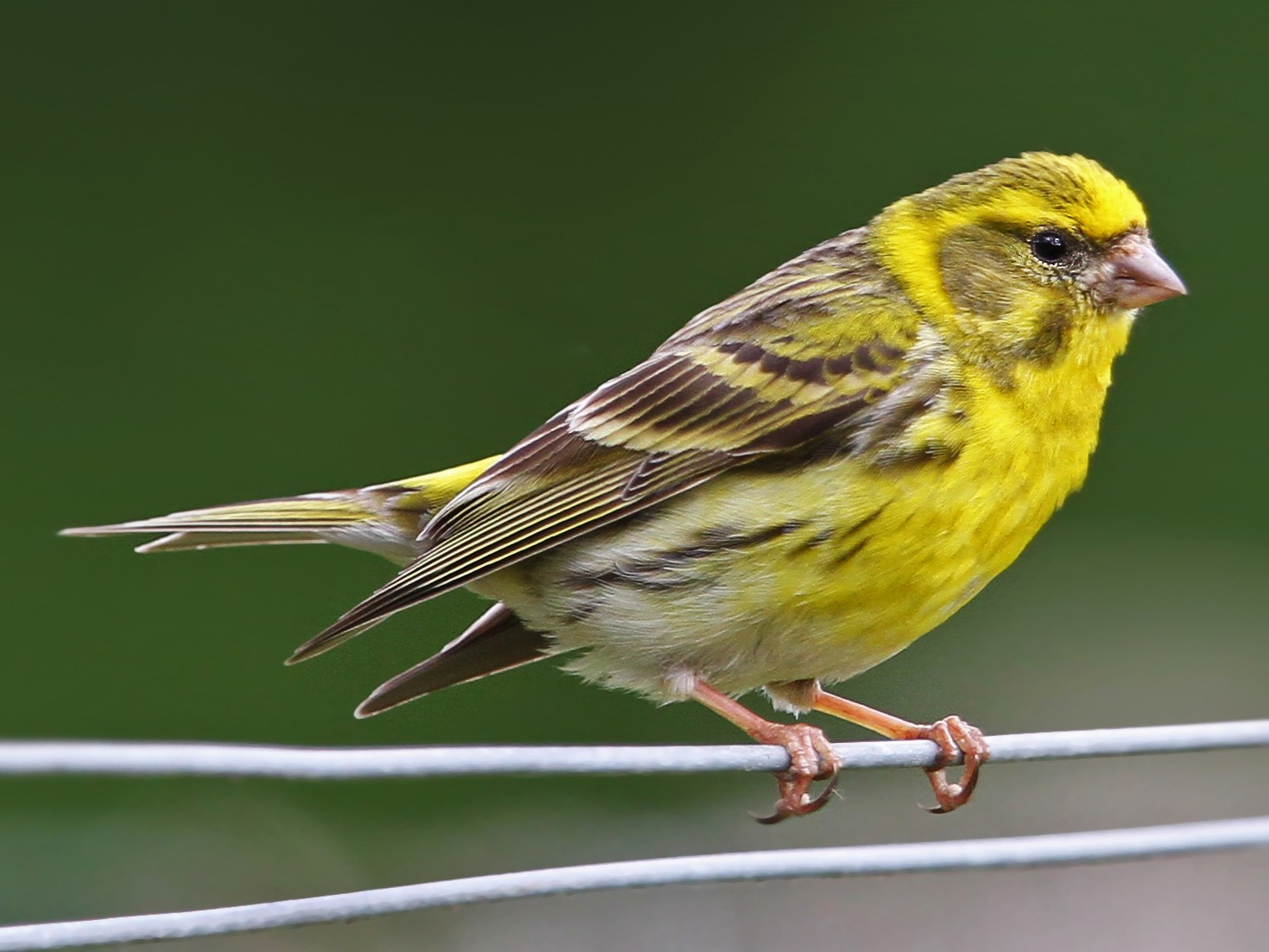 European Serin - Christoph Moning