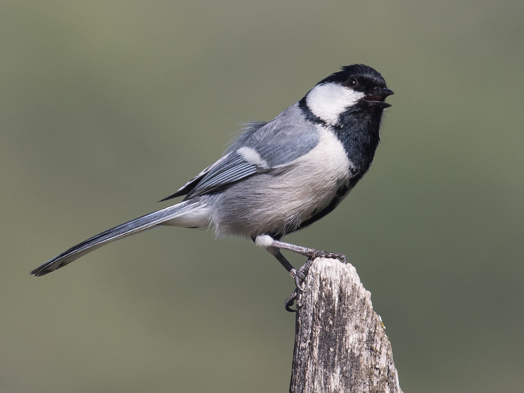 Great Tit - James Kennerley 🦖