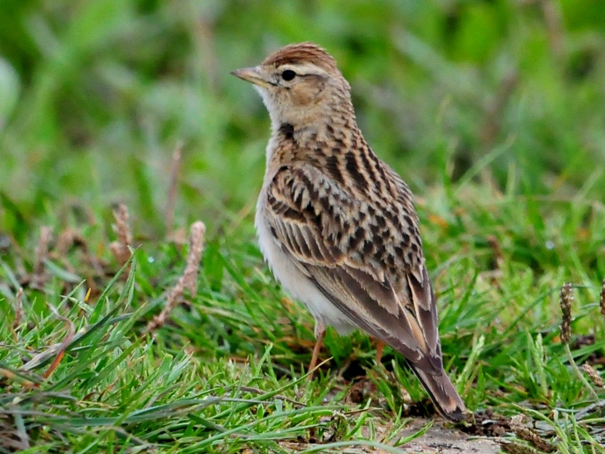 Greater Short-toed Lark - Carl  Hawker