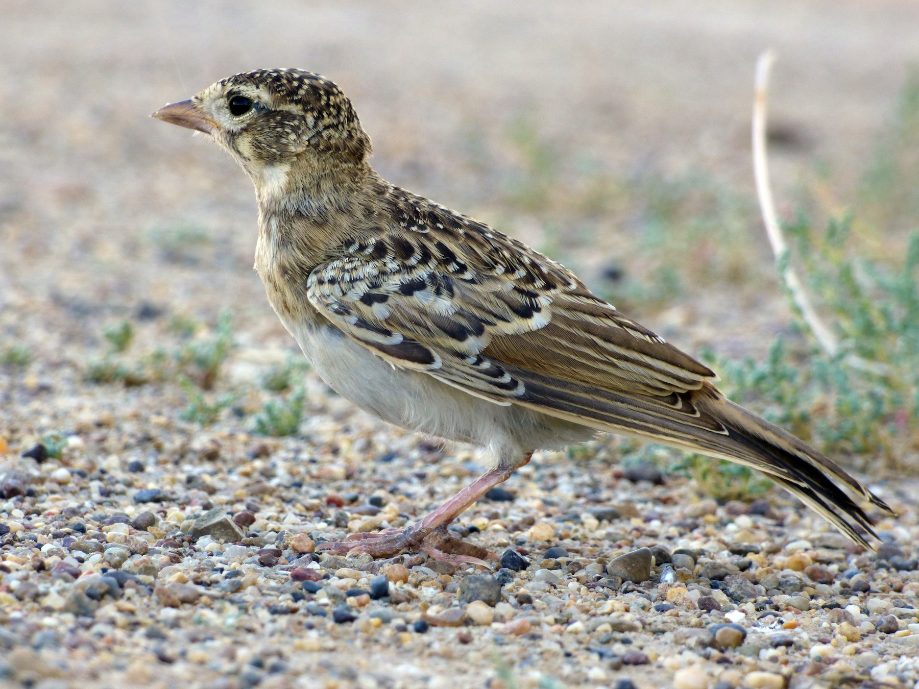 Greater Short-toed Lark - Thibaut RIVIERE