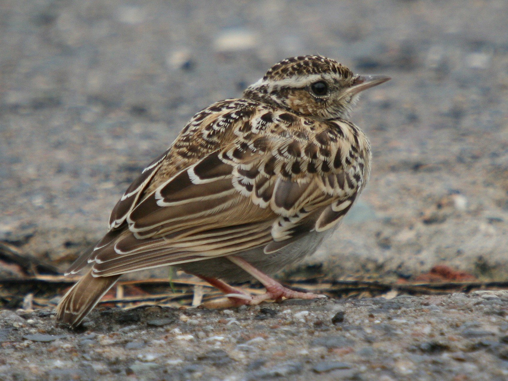 Wood Lark - Christoph Moning
