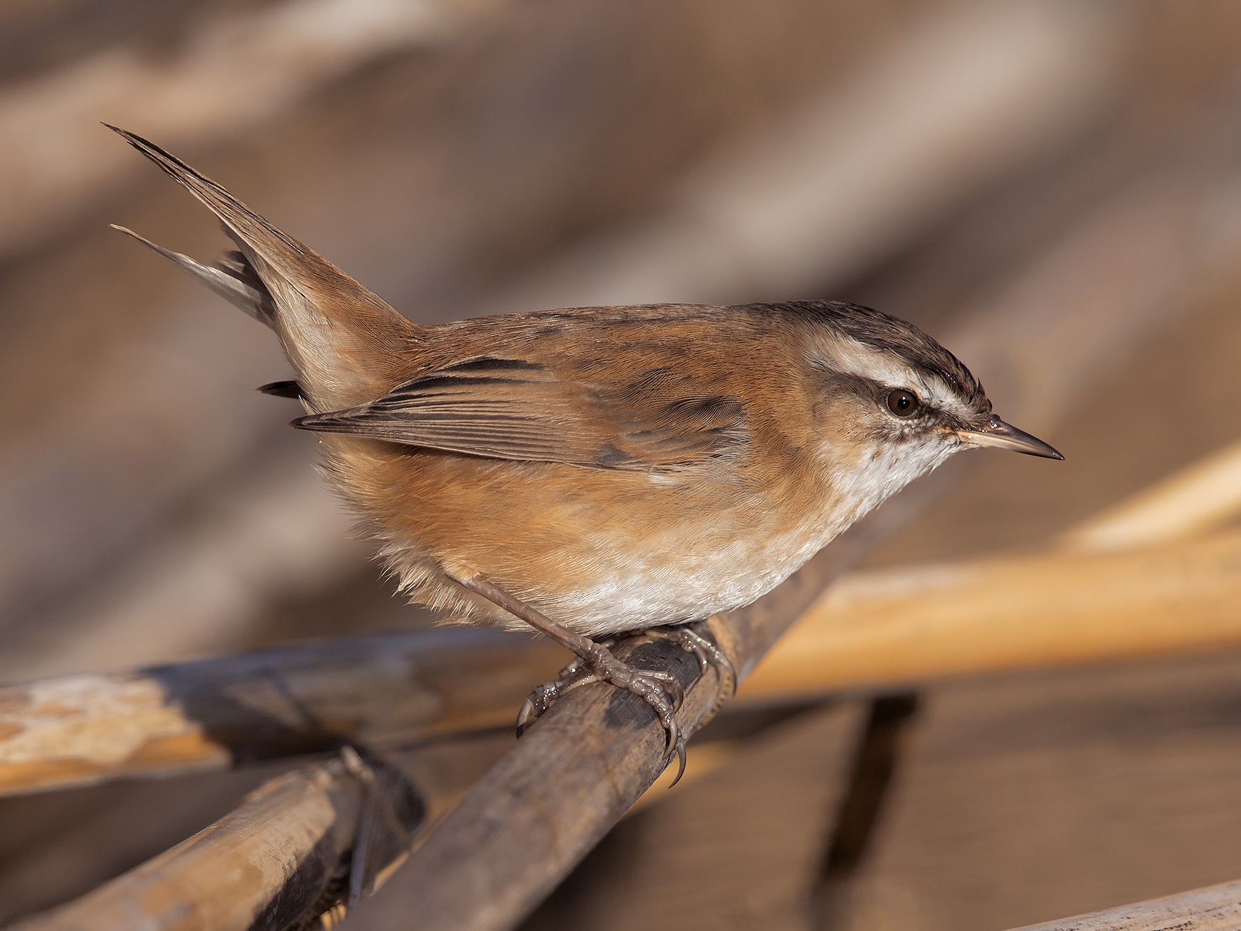 Moustached Warbler - Marco Valentini