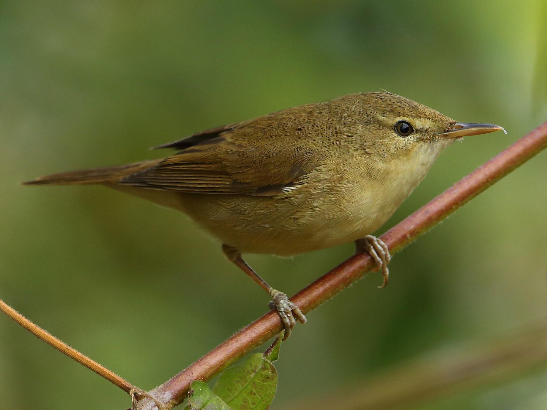 Blyth's Reed Warbler - Albin Jacob