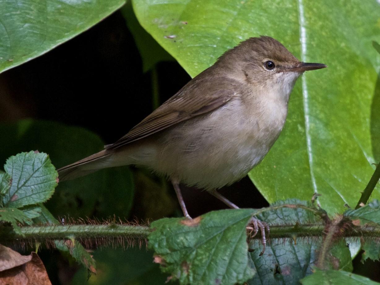 Blyth's Reed Warbler - Vasanthan Panchavarnam
