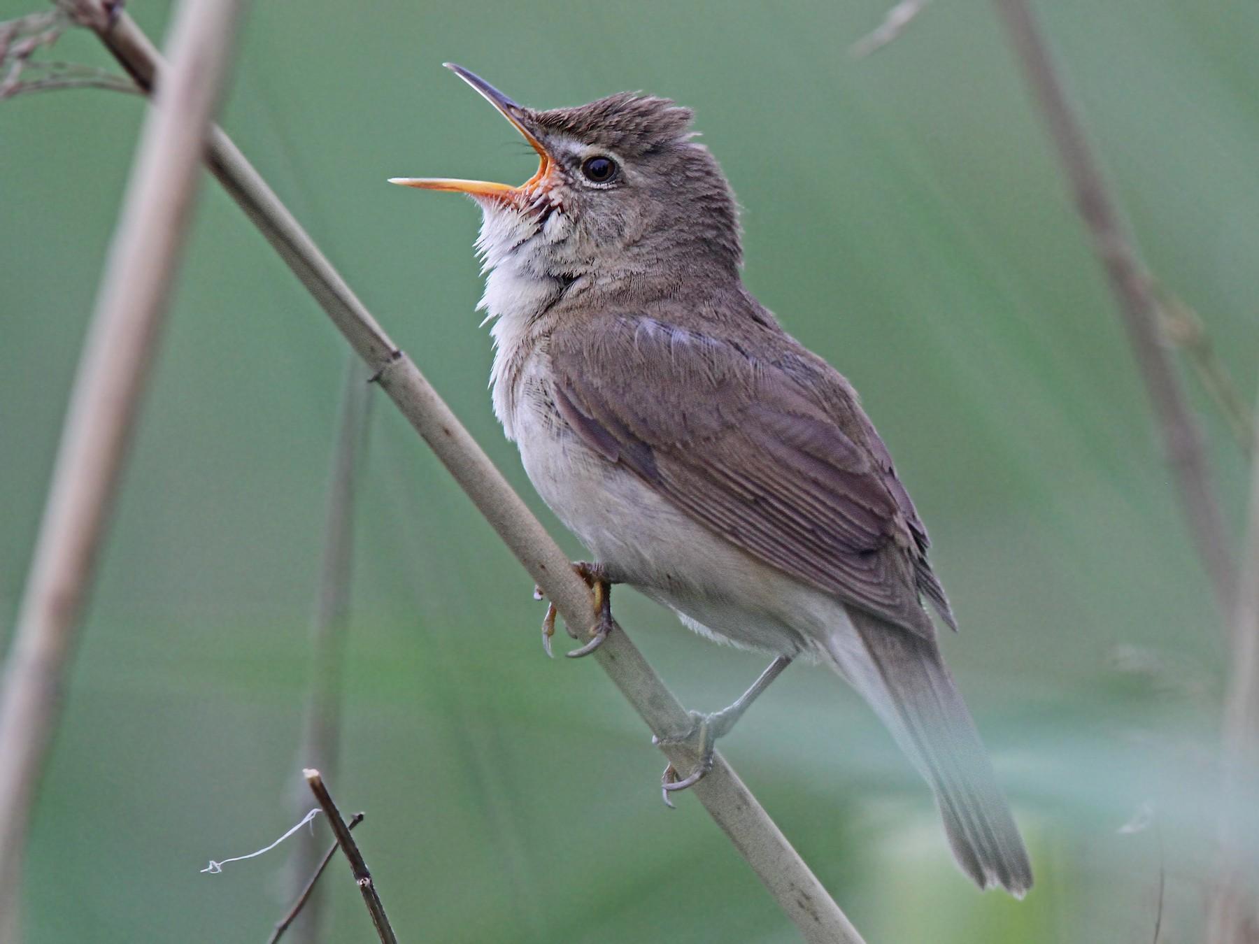 Blyth's Reed Warbler - Volker Hesse