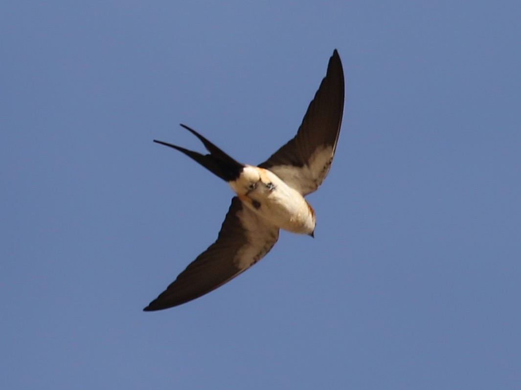 Red-rumped Swallow - Jay McGowan