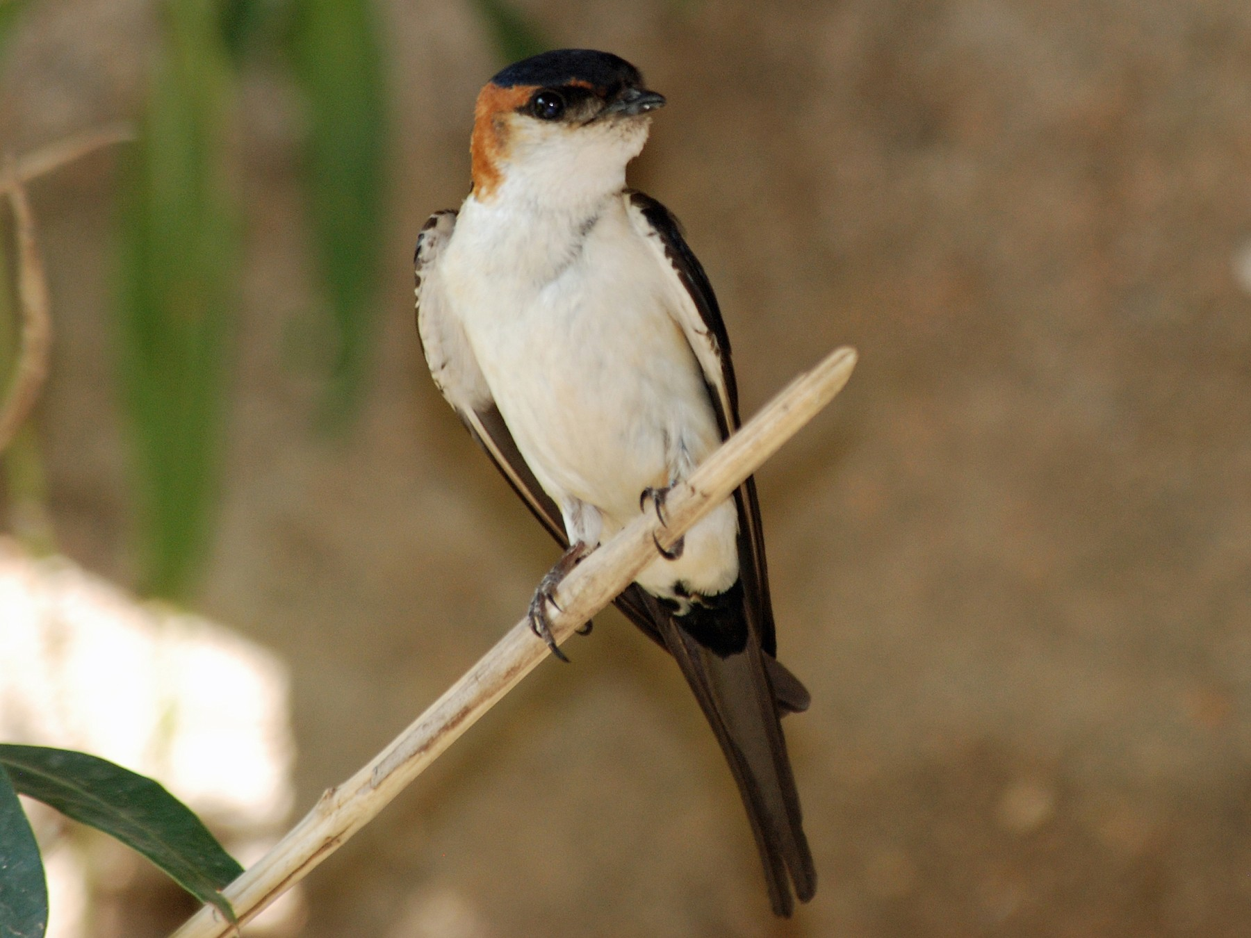 Red-rumped Swallow - Nigel Voaden