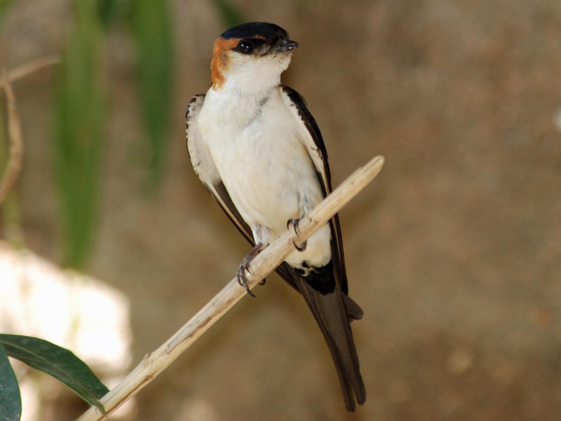 Red-rumped Swallow - Nigel Voaden
