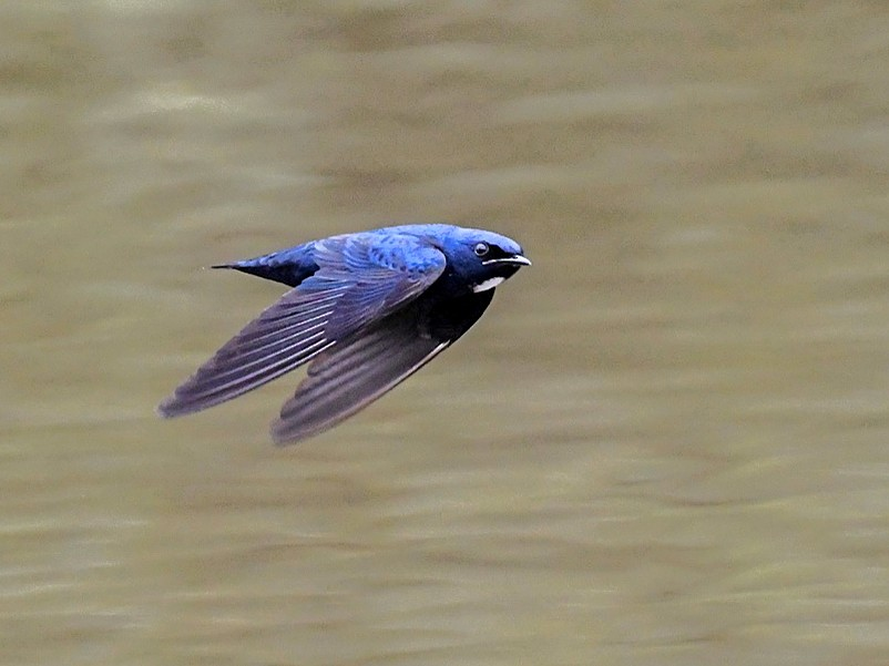 White-throated Blue Swallow - Jacques Erard