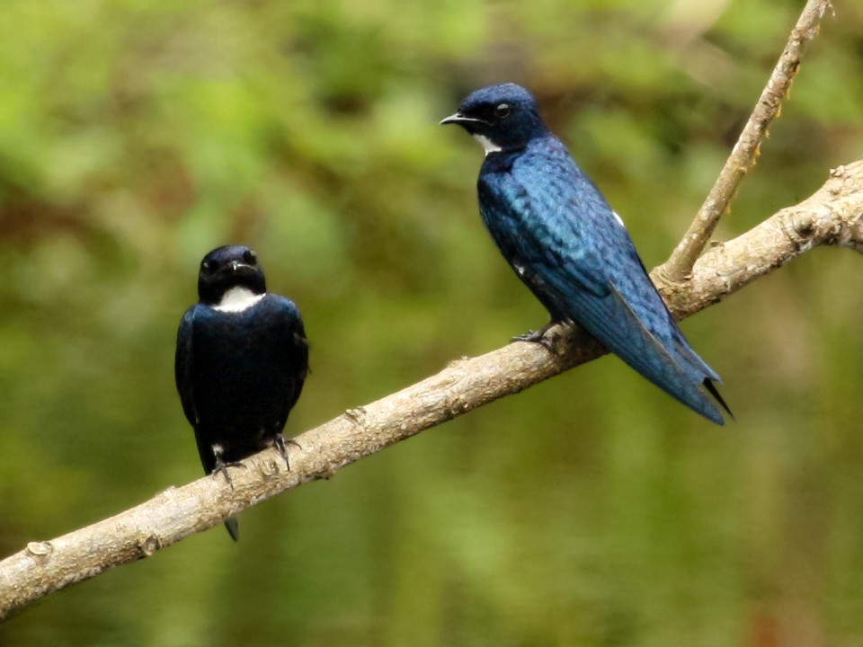 White-throated Blue Swallow - Jacob C. Cooper