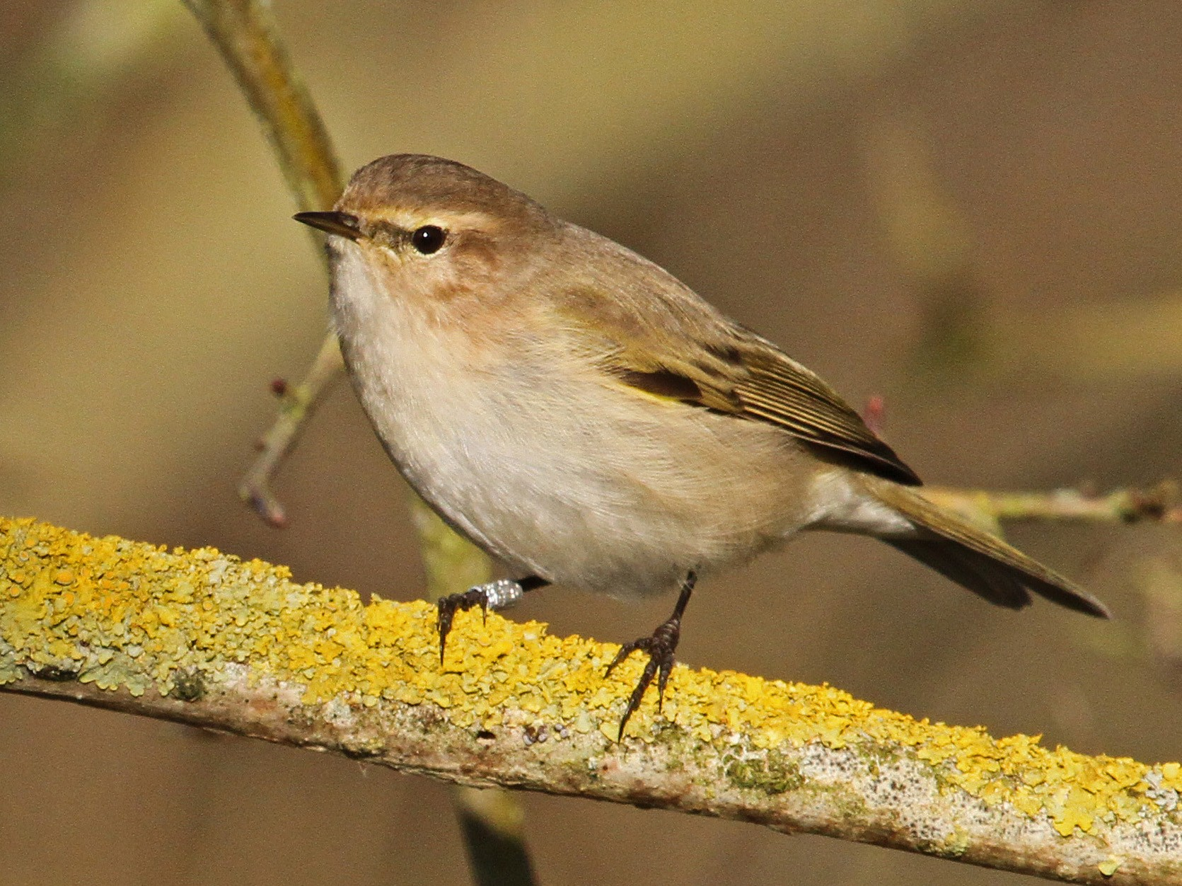 Common Chiffchaff - Paul Lewis