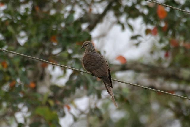 Tanimbar Cuckoo-Dove