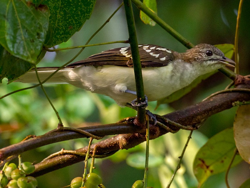 Spotted Greenbul - Lars Petersson