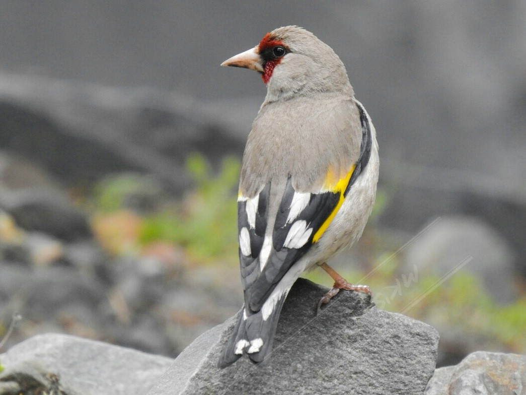 European Goldfinch - Mahesh Kumar