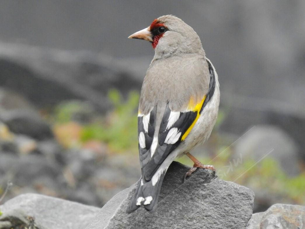 European Goldfinch - Mahesh Kumar