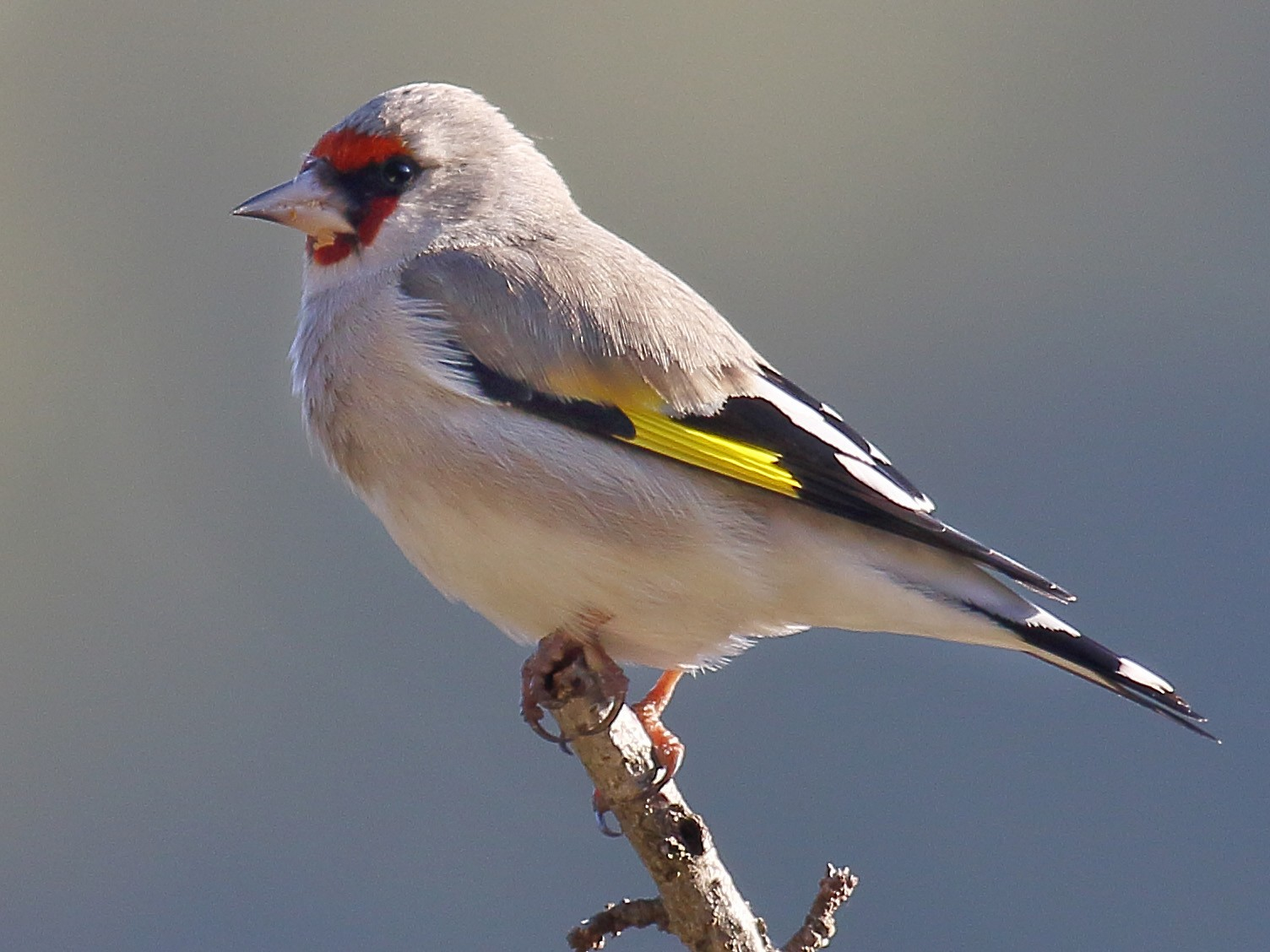 European Goldfinch - Amarendra Konda