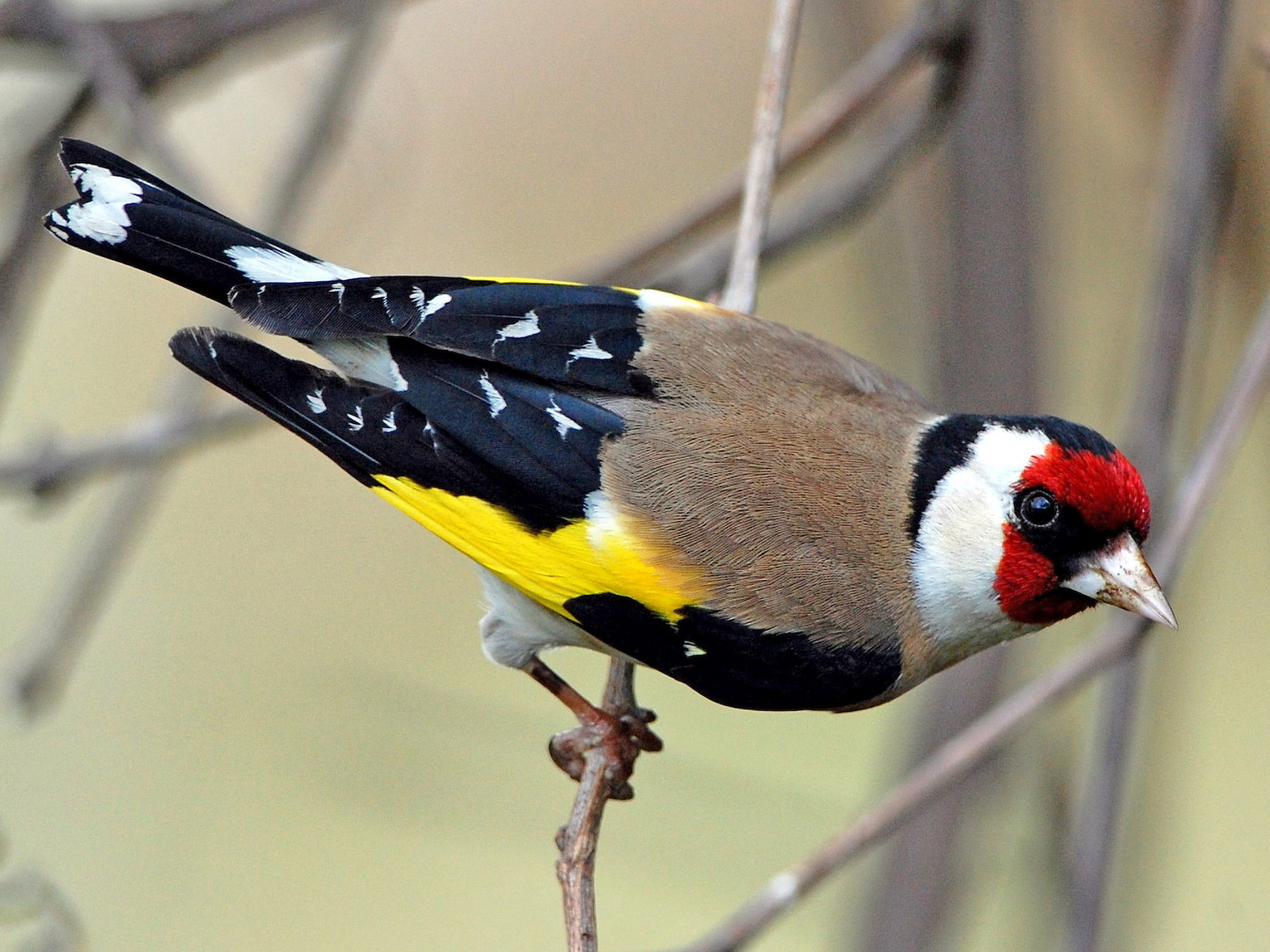 European Goldfinch - Eitan Altman