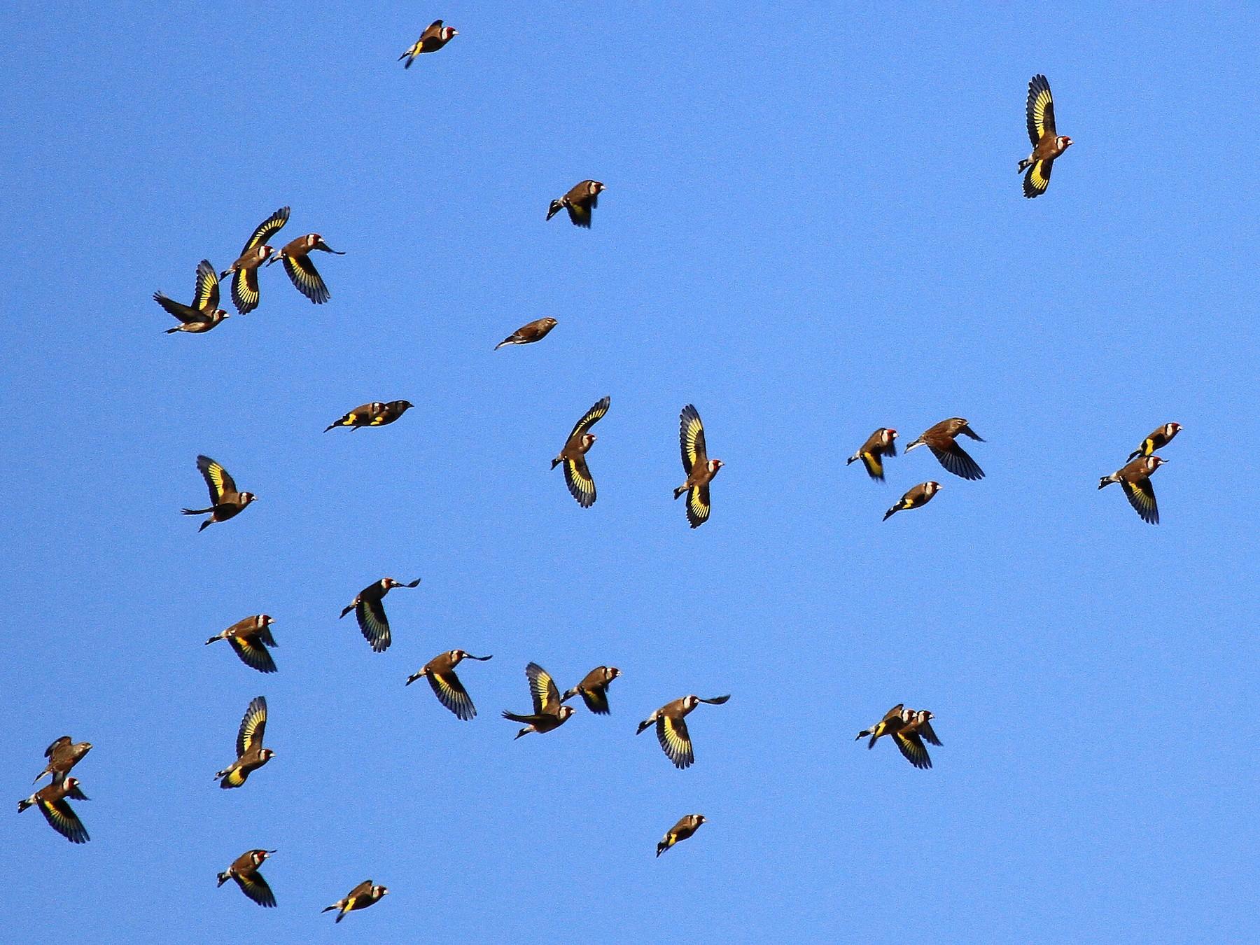 European Goldfinch - Patrick MONNEY
