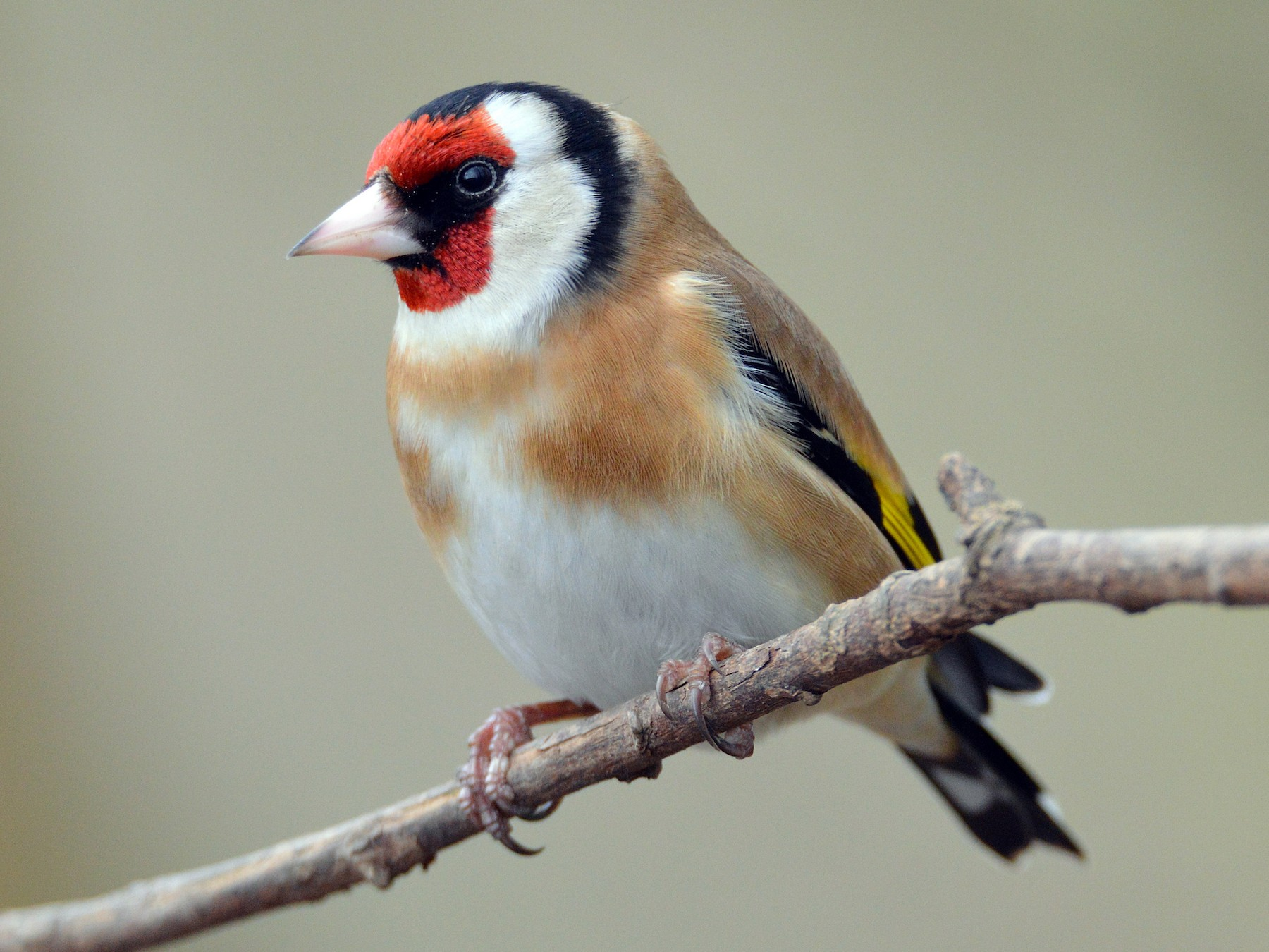 European Goldfinch - James L Taylor
