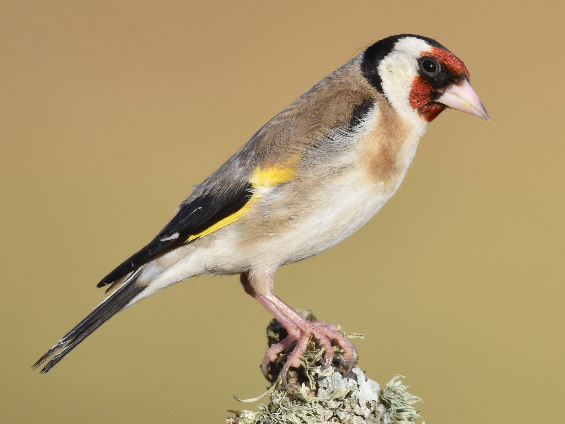 European Goldfinch - Santiago Caballero Carrera