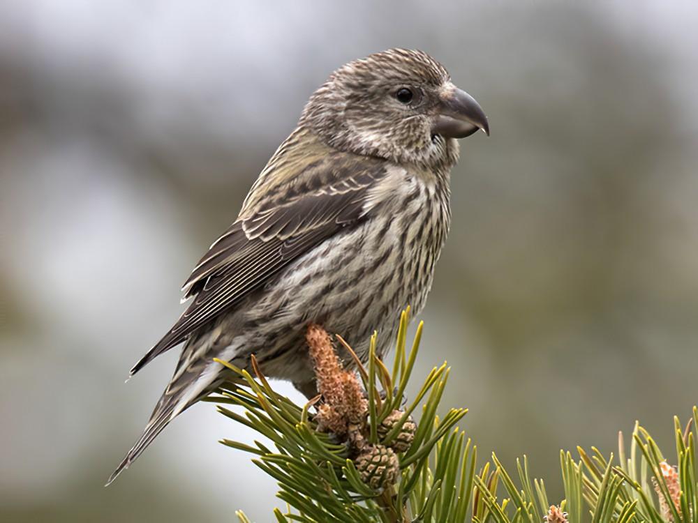 Parrot Crossbill - Lars Petersson