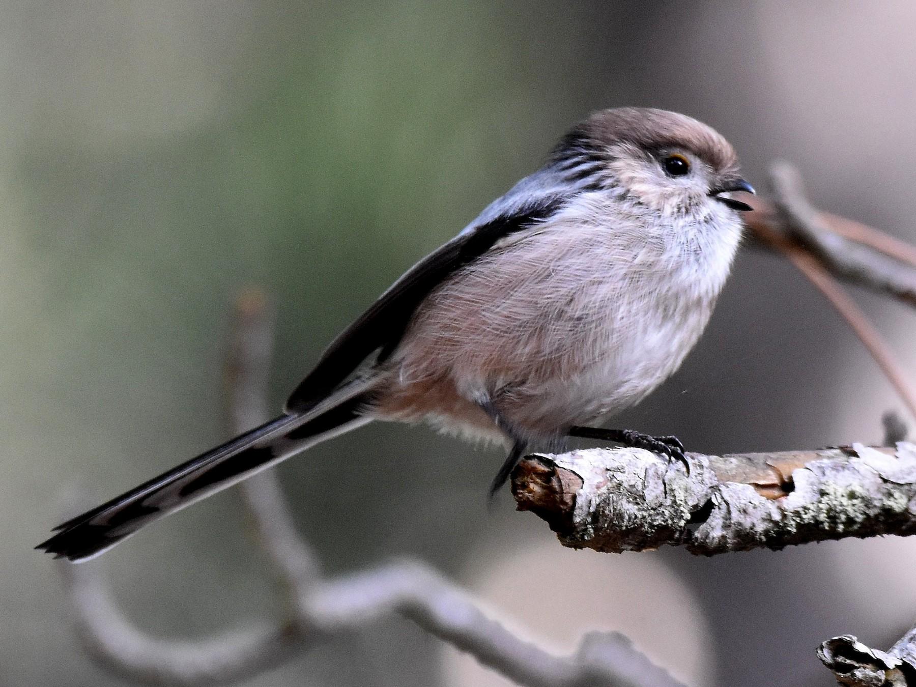 Long-tailed Tit - Lukasz Pulawski