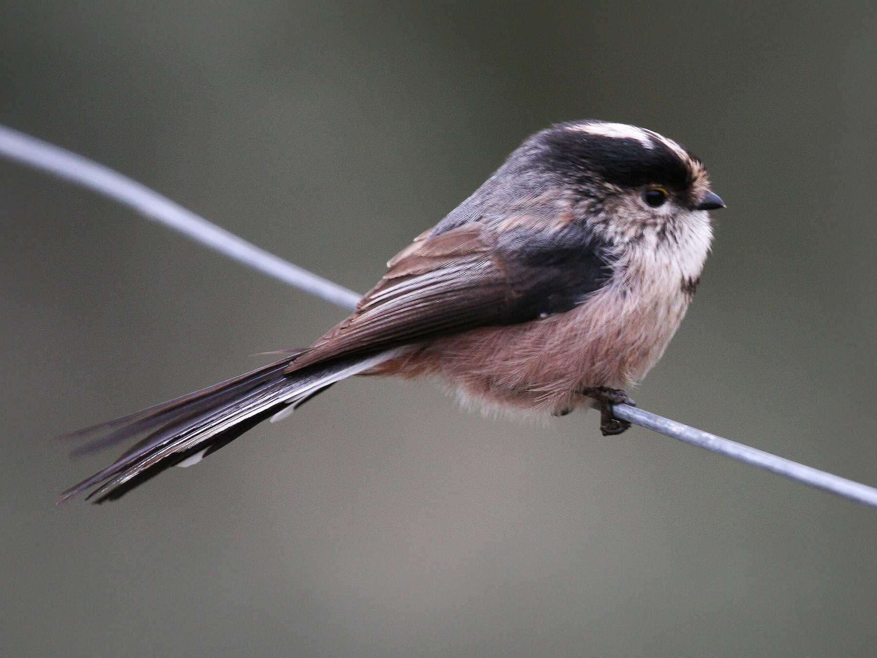 Long-tailed Tit - Eduardo Soler
