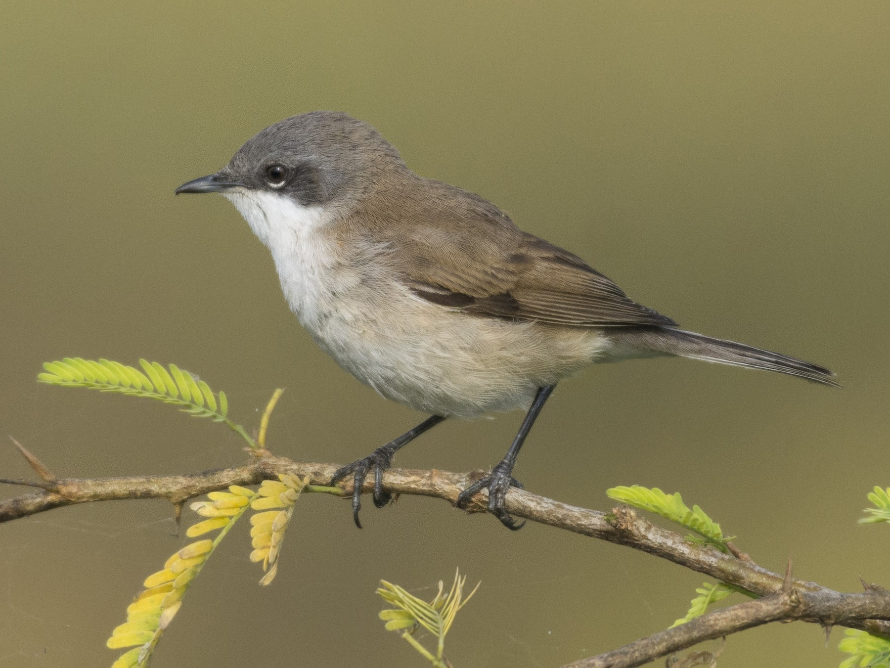 Lesser Whitethroat - Fareed Mohmed