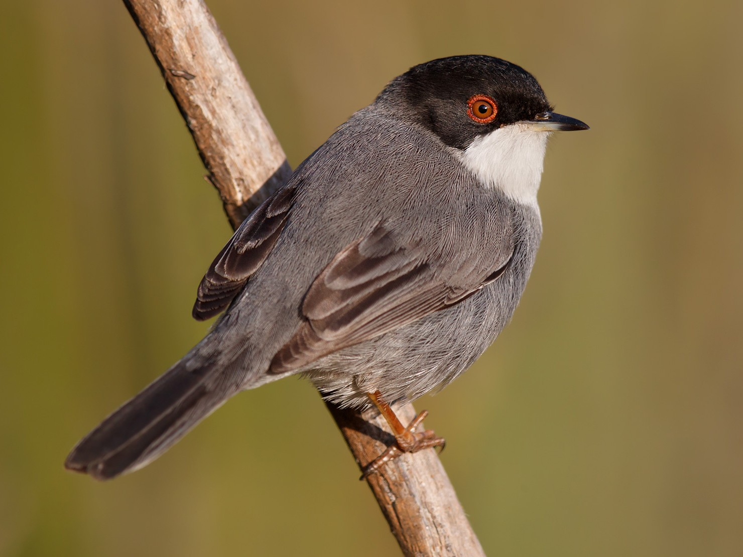 Sardinian Warbler - Daniel Pettersson