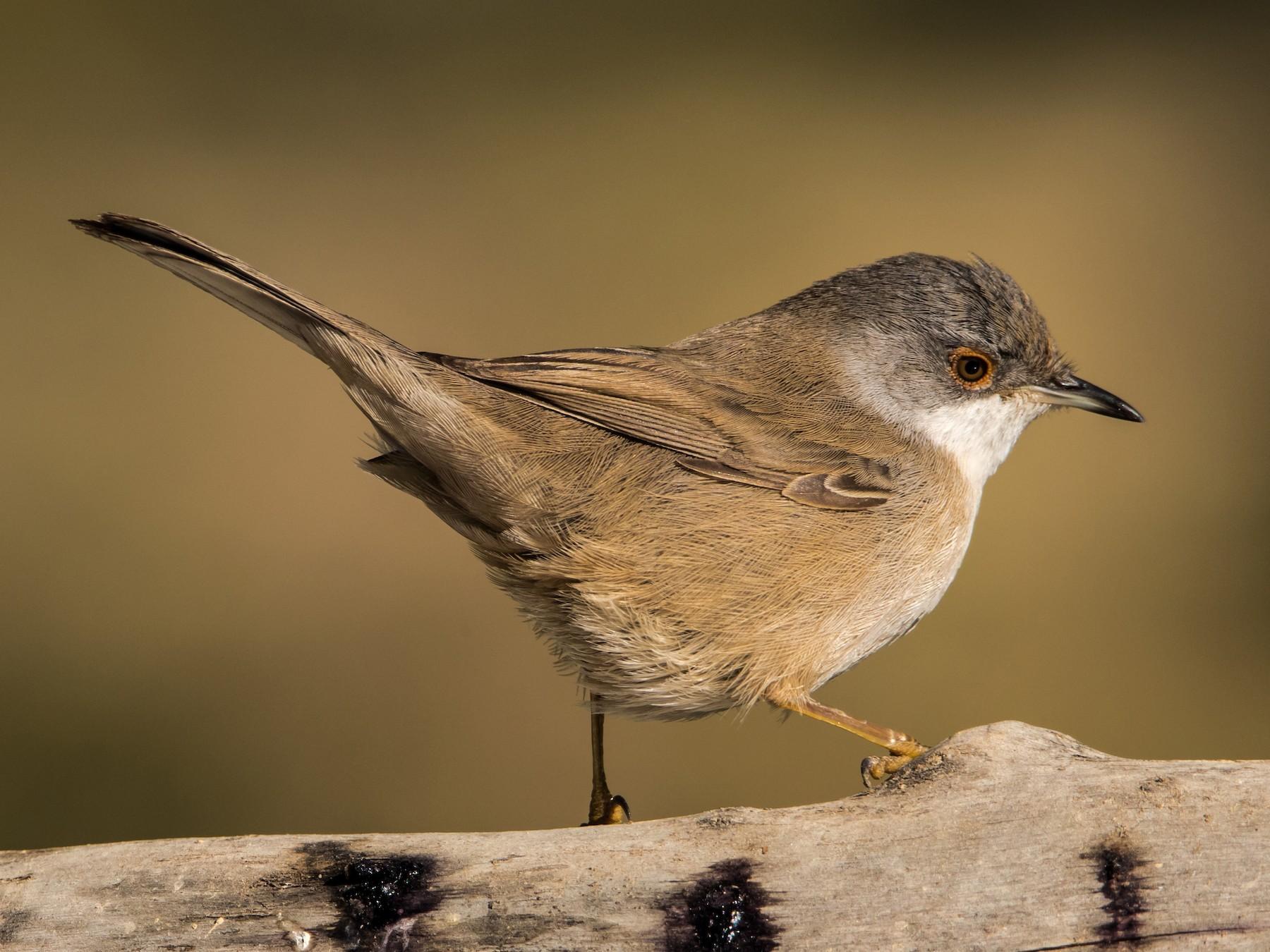 Sardinian Warbler - Yanina Maggiotto