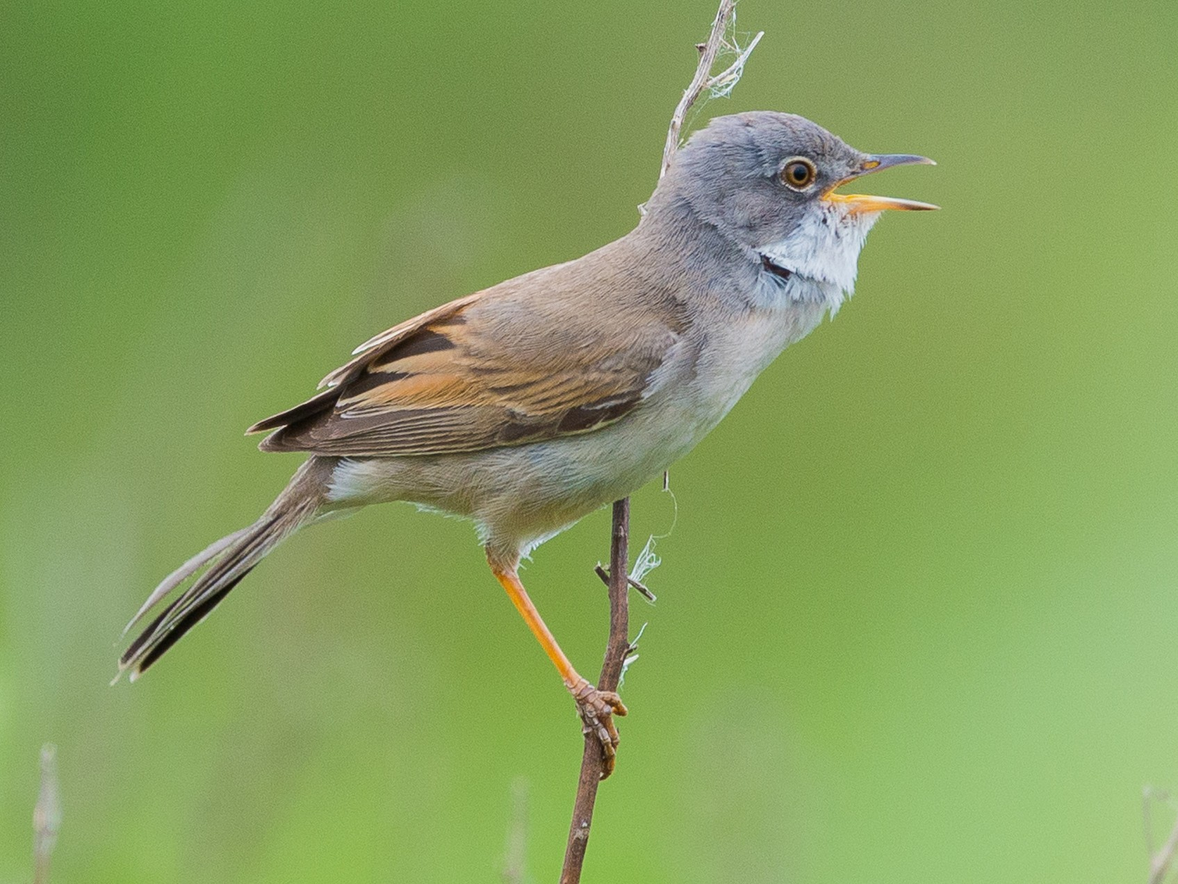 Greater Whitethroat - Juan Miguel González Perea