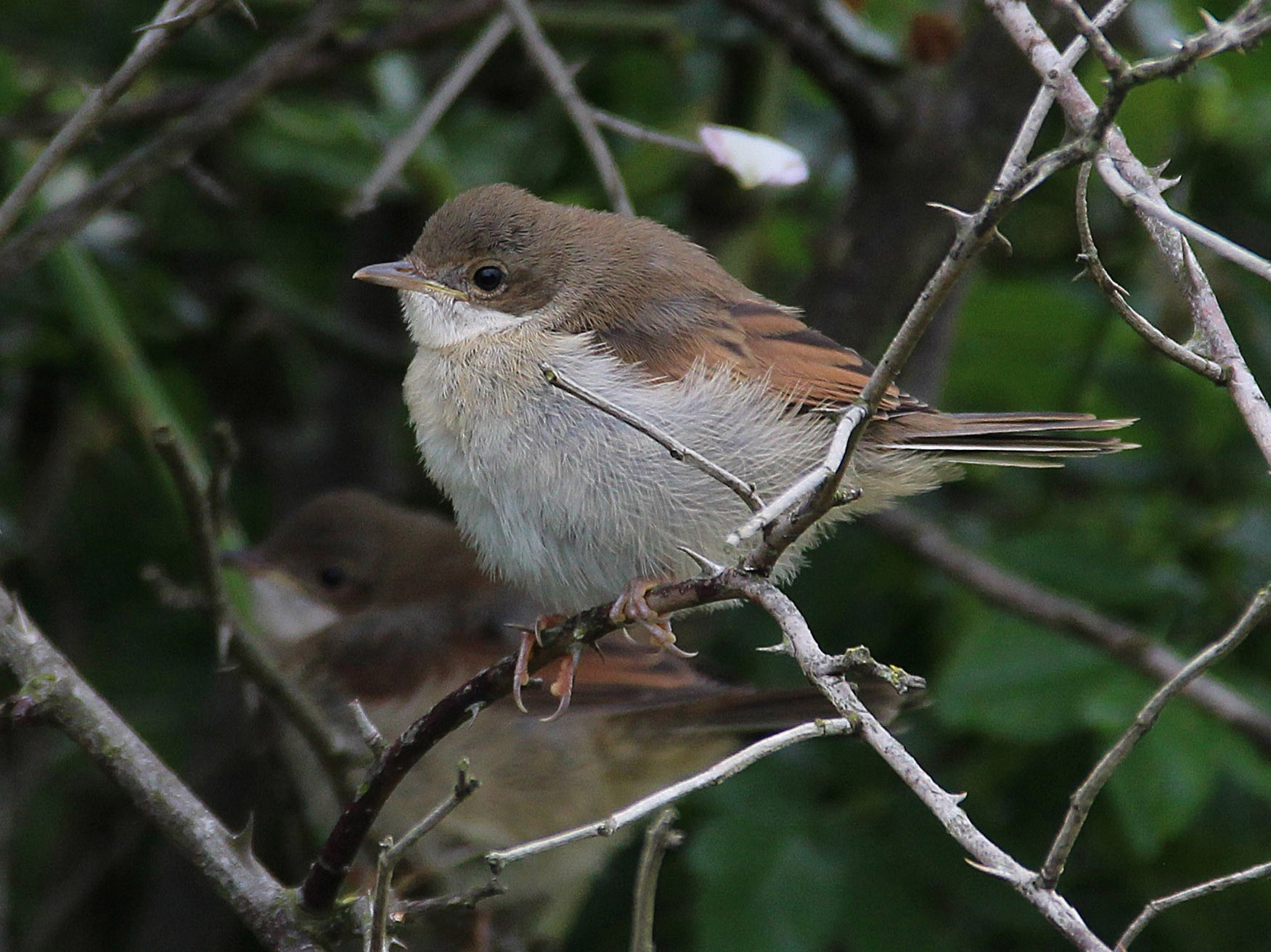 Greater Whitethroat - Ray Scally