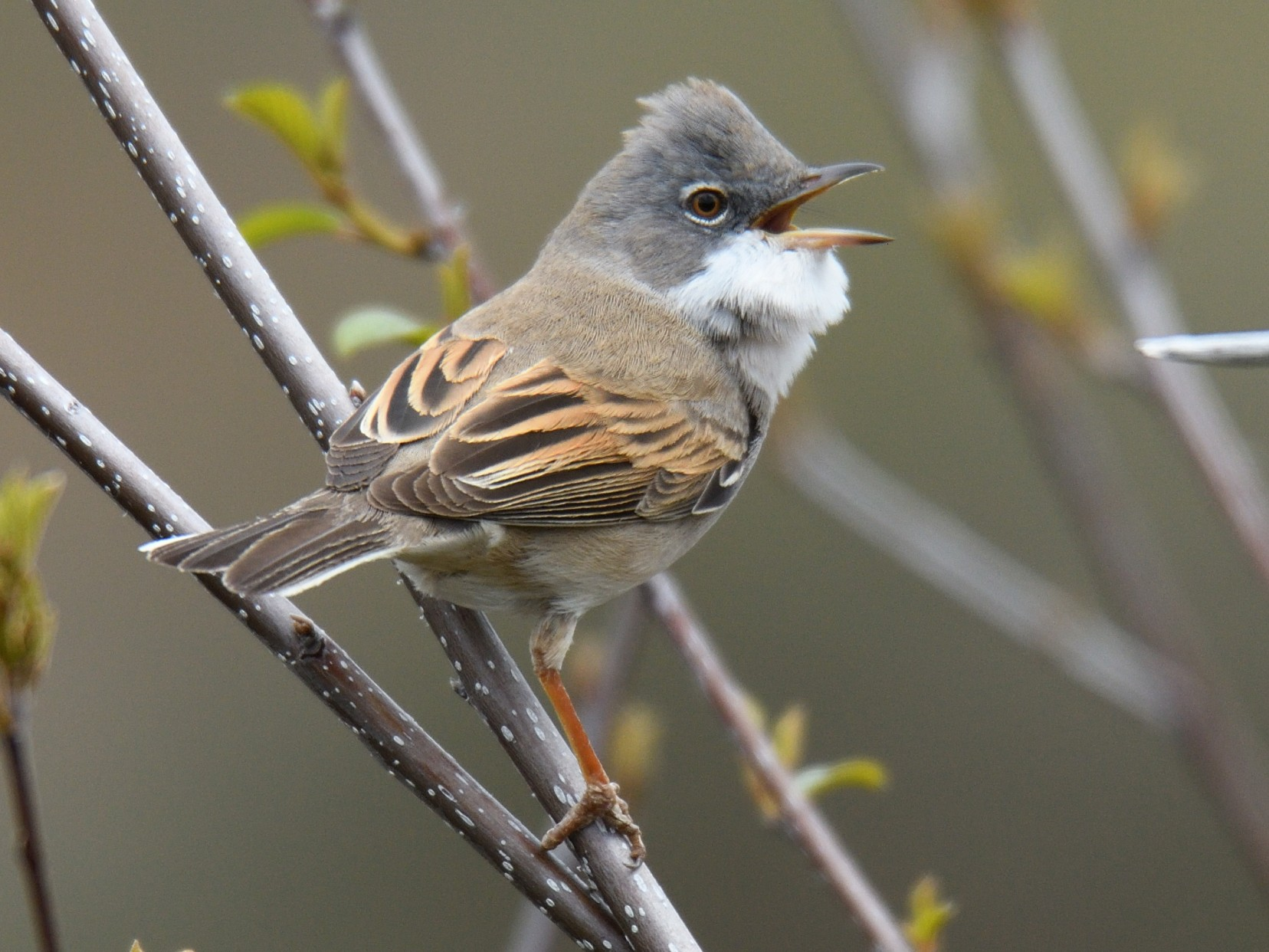 Greater Whitethroat - Manuel Segura Herrero