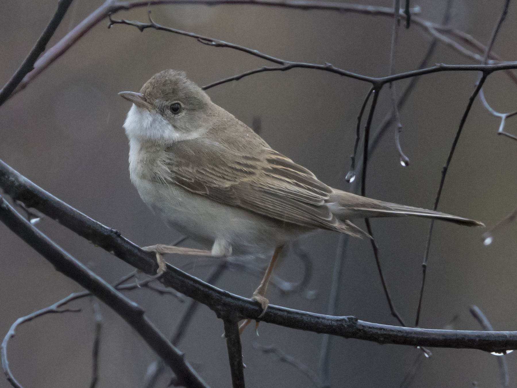 Greater Whitethroat - Zak Pohlen