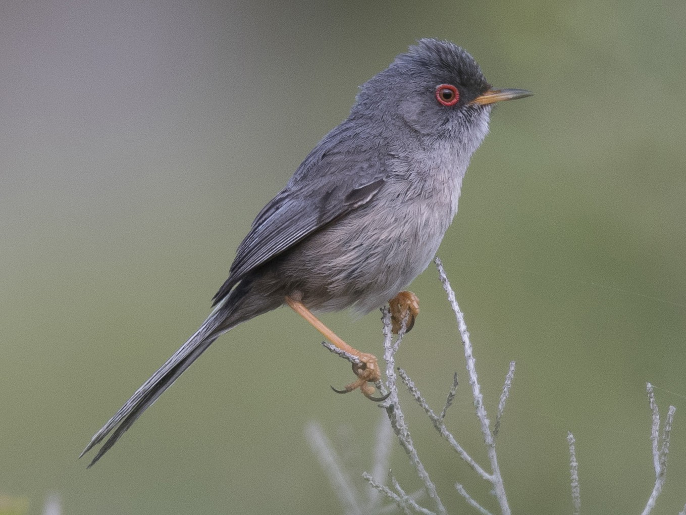 Balearic Warbler - Miguel Rouco