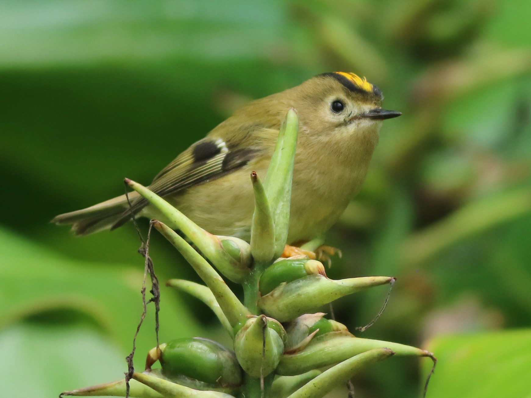 Goldcrest - Jeremiah Trimble