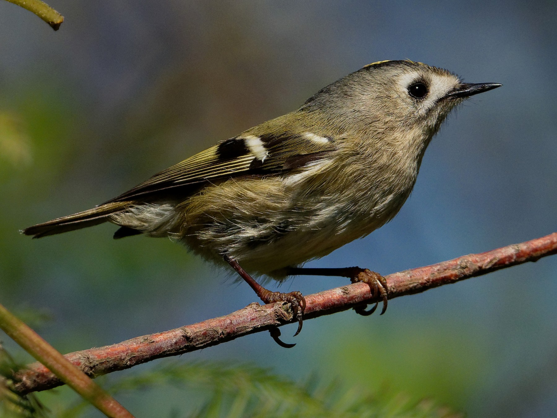 Goldcrest - Vincent Wang