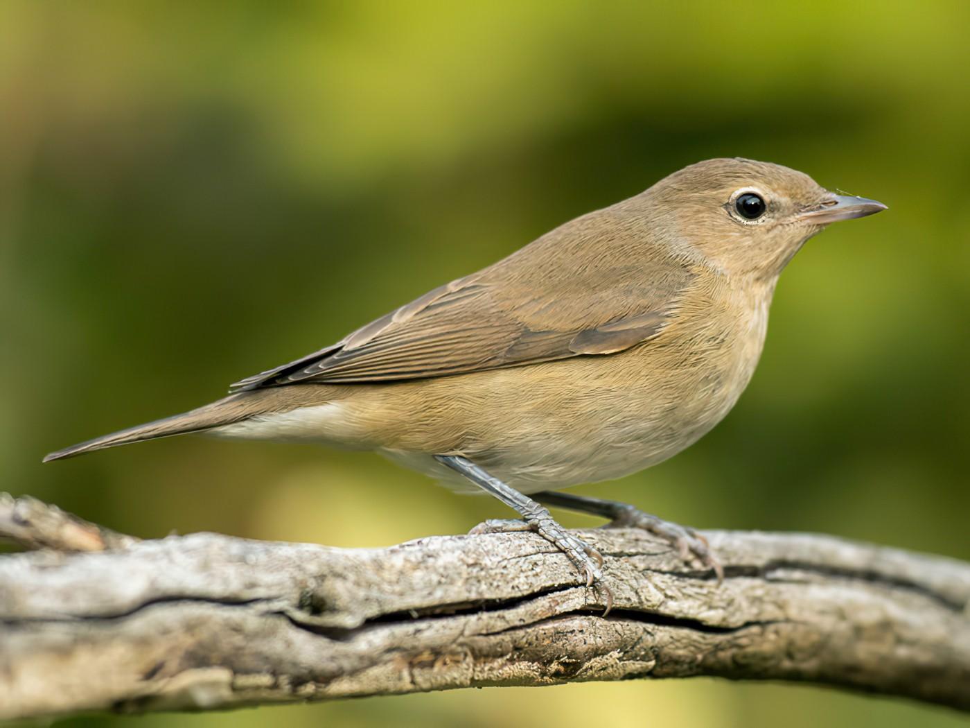 Garden Warbler - Luis Rodrigues