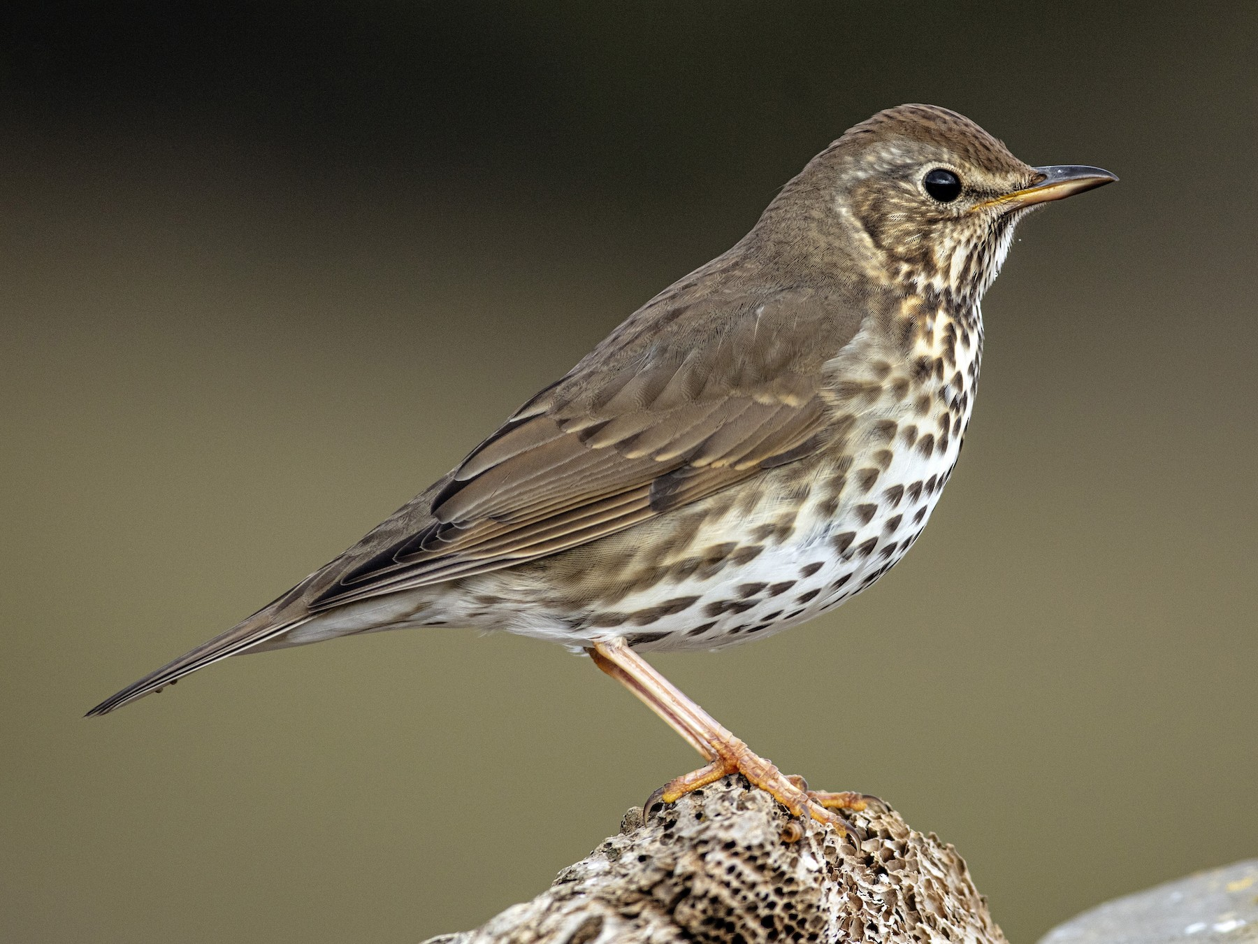 Song Thrush - Rafael Pardo