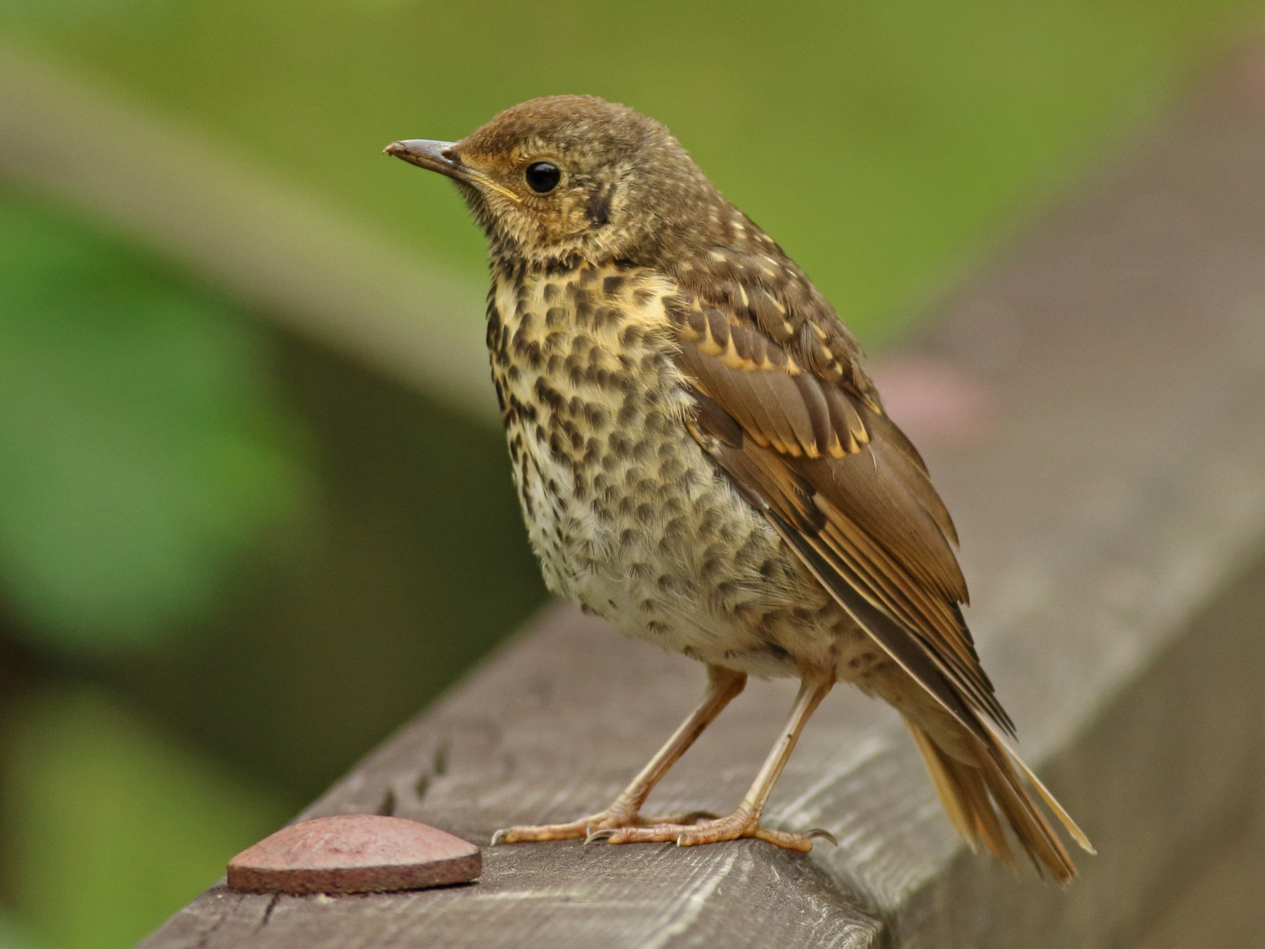Song Thrush - Andrew Steele