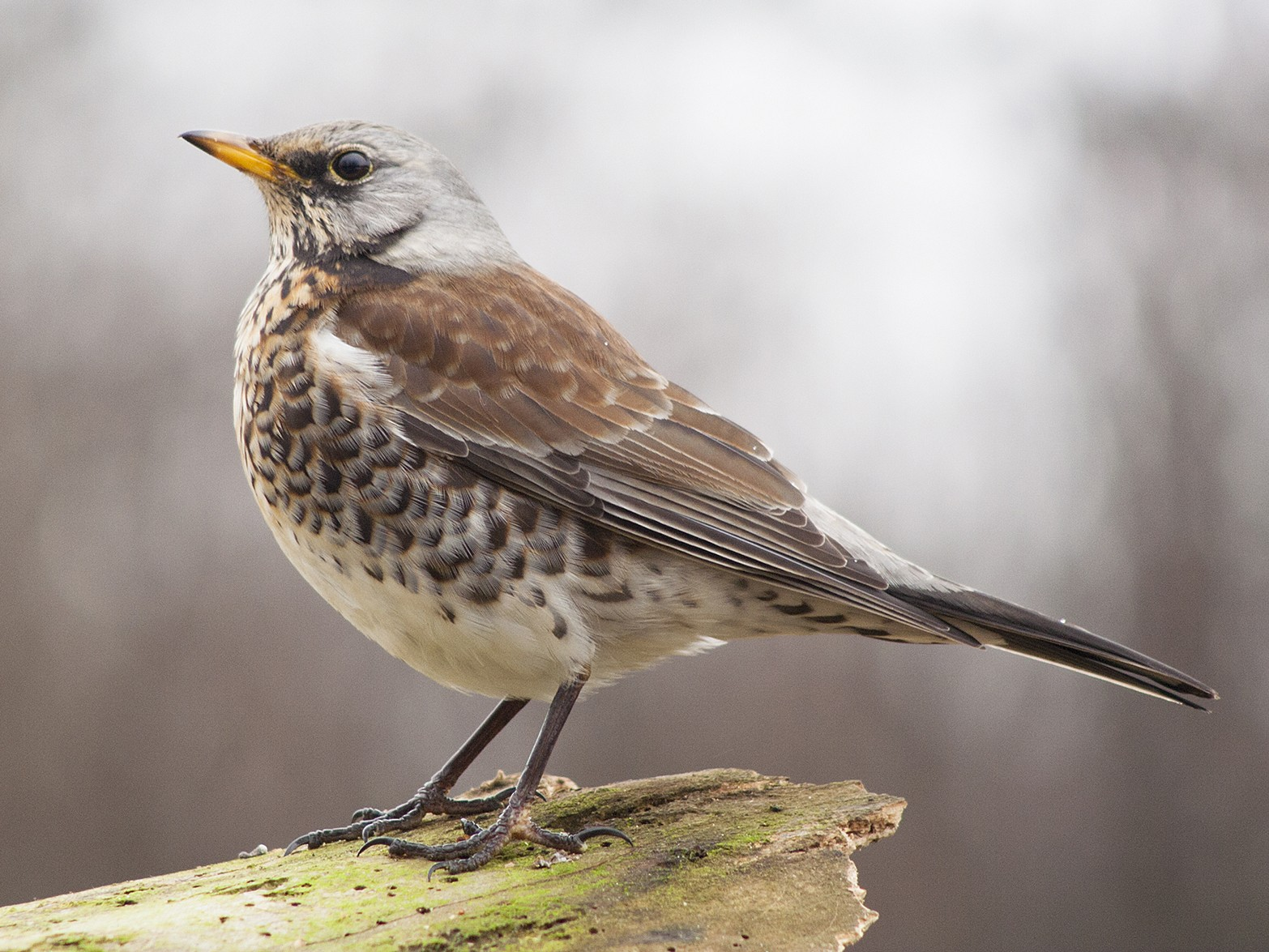 Fieldfare - Michal Jurica