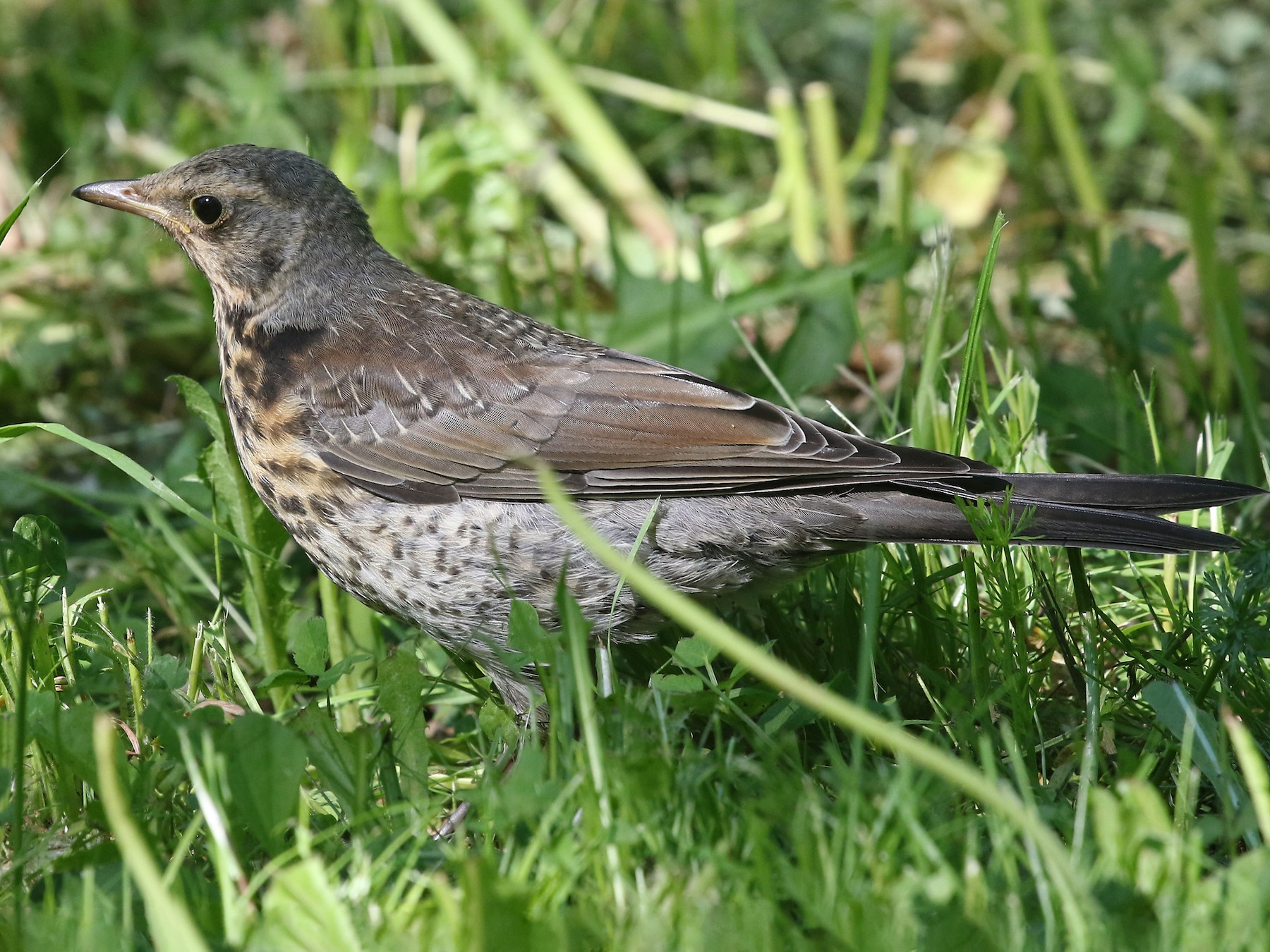 Fieldfare - Phillip Edwards