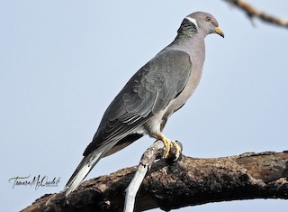 Band-tailed Pigeon, ML256809351