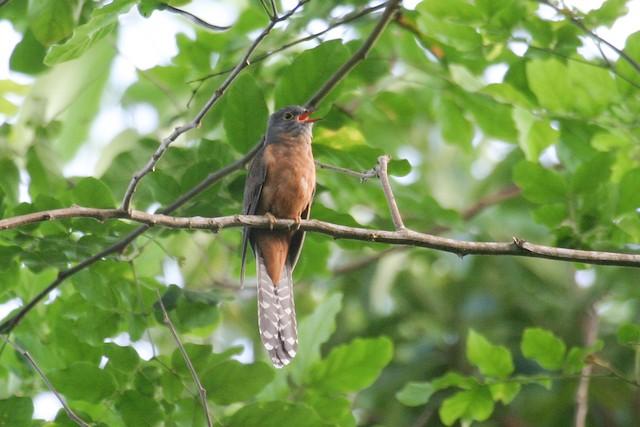 Moluccan Cuckoo