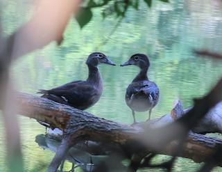 Wood Duck, ML257474181