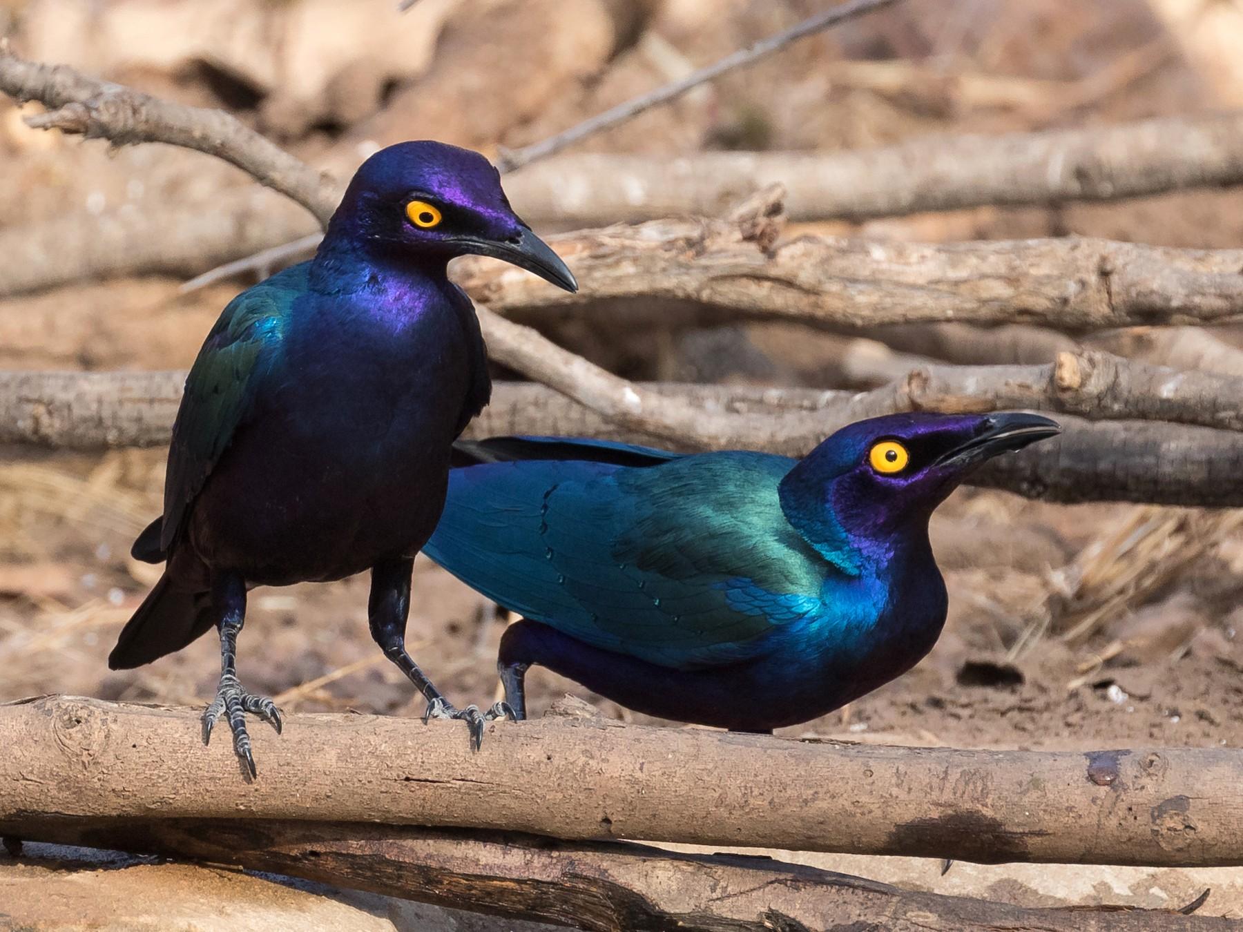 Purple Starling - James Kennerley 🦄