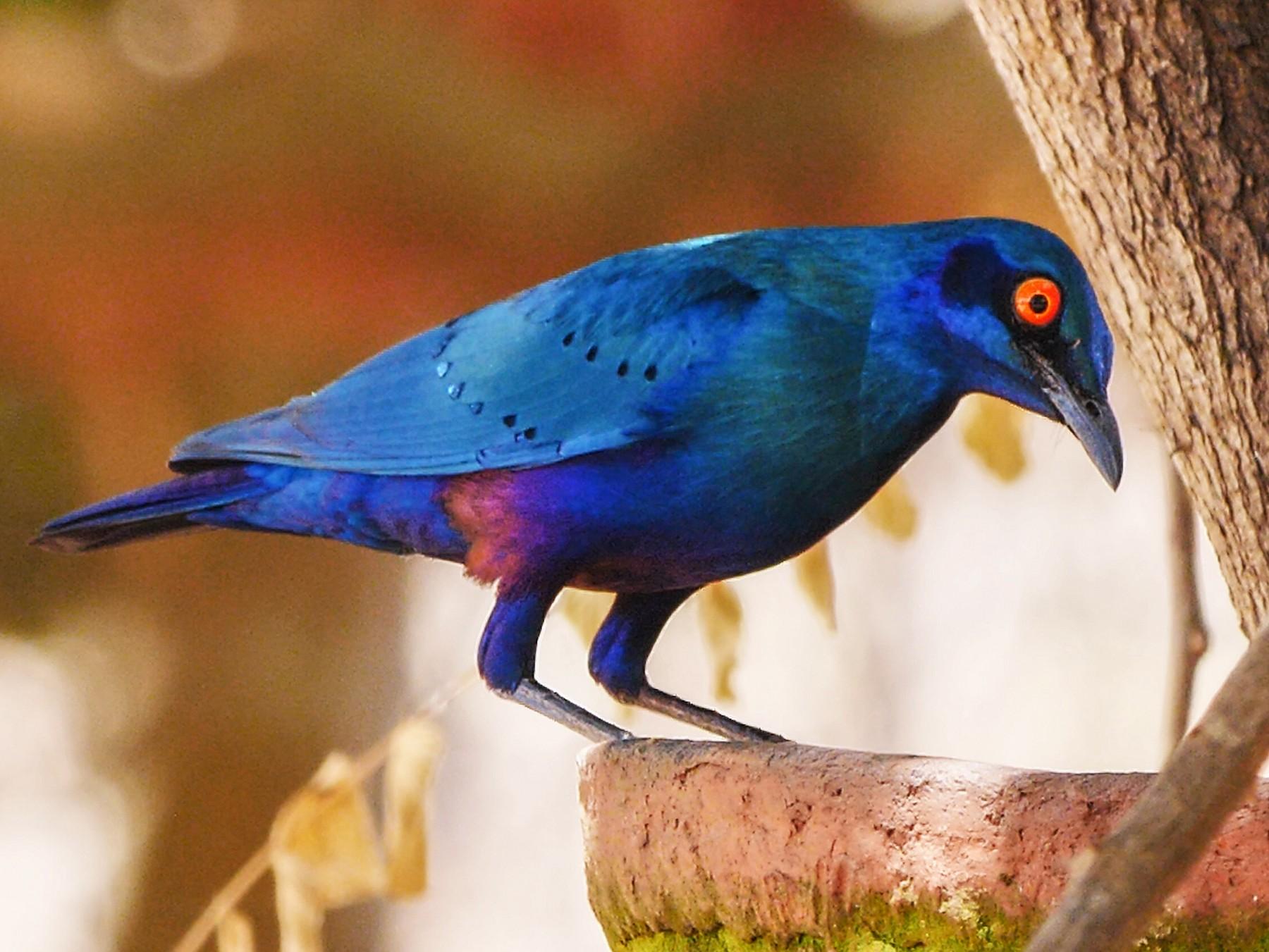 Bronze-tailed Starling - Josep del Hoyo