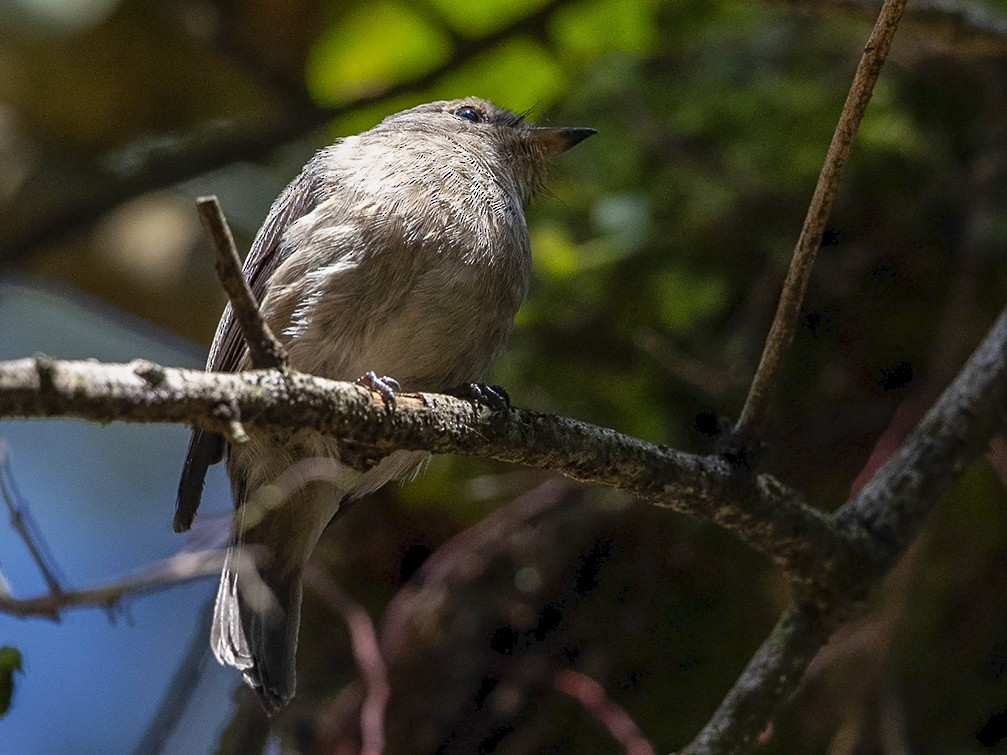 Chapin's Flycatcher - Niall D Perrins