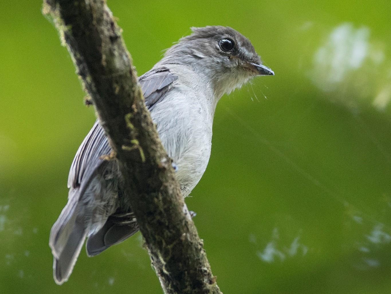 Chapin's Flycatcher - Ian Davies