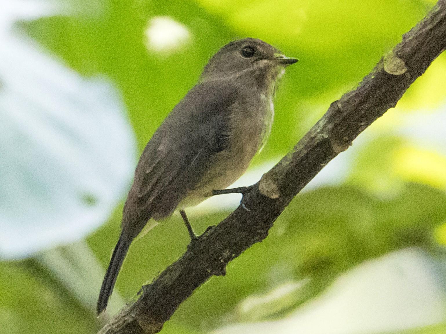 Chapin's Flycatcher - Peter  Steward